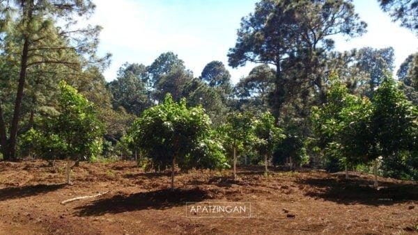 Na pierwszym planie niewielkie drzewka awokado rosnące w równych rzędach, a za nimi wysokie drzewa iglaste na tle błękitnego nieba