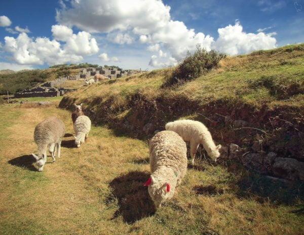 Pięć alpak pasących się na zboczu wzgórza