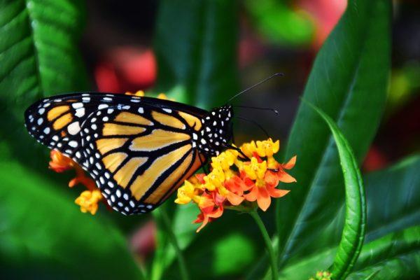 Motyl monarcha siedzący ze złożonymi skrzydłami na pomarańczowym kwiatku w otoczeniu zielonych liści